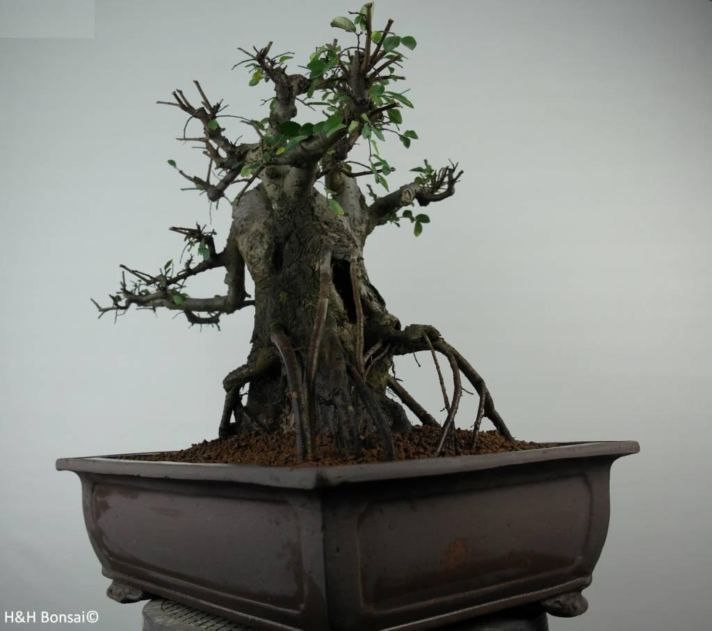 Bonsai Olmo cinese, Ulmus, no. 7510