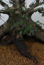 Bonsai Chinese Elm, Ulmus, no. 7511