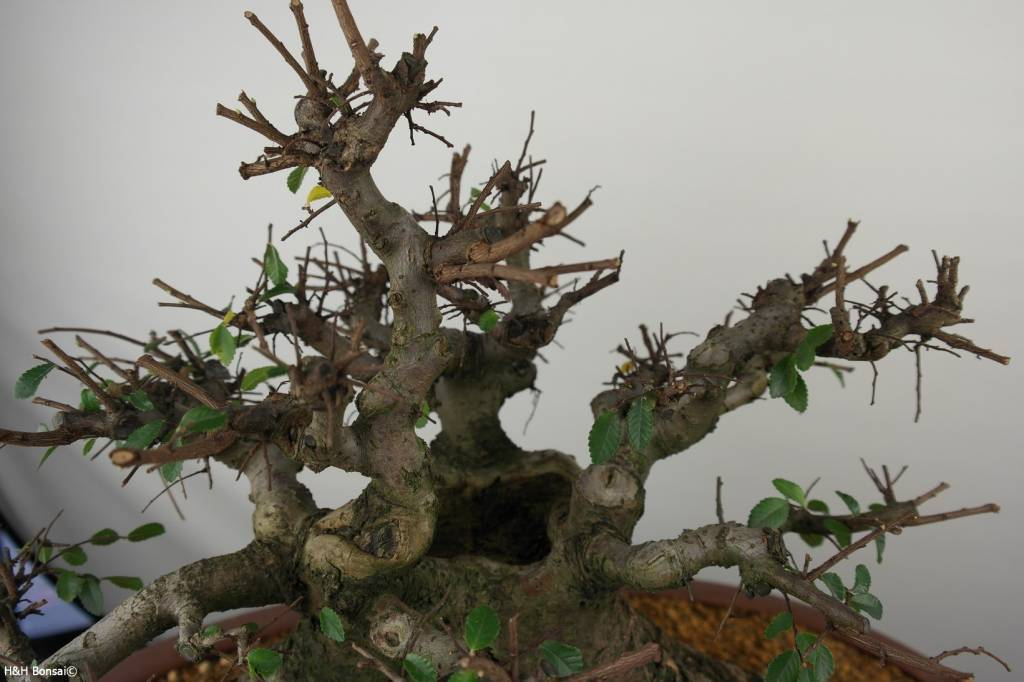 Bonsai Olmo cinese, Ulmus, no. 7511