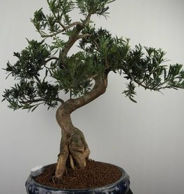 Bonsai Buddhist Pine, Podocarpus, no. 7512