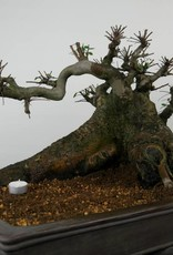 Bonsai Chinese Elm, Ulmus, no. 7513