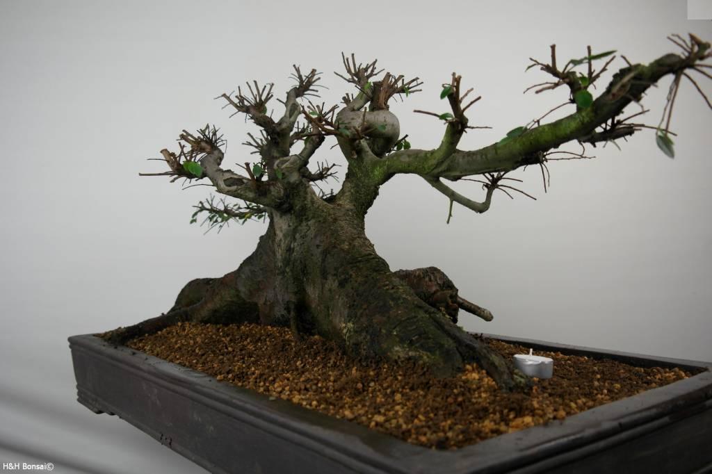 Bonsai Olmo cinese, Ulmus, no. 7513