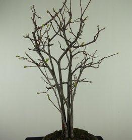 Bonsai Catogna da fiore, Chaenomeles sinensis, no. 7511A