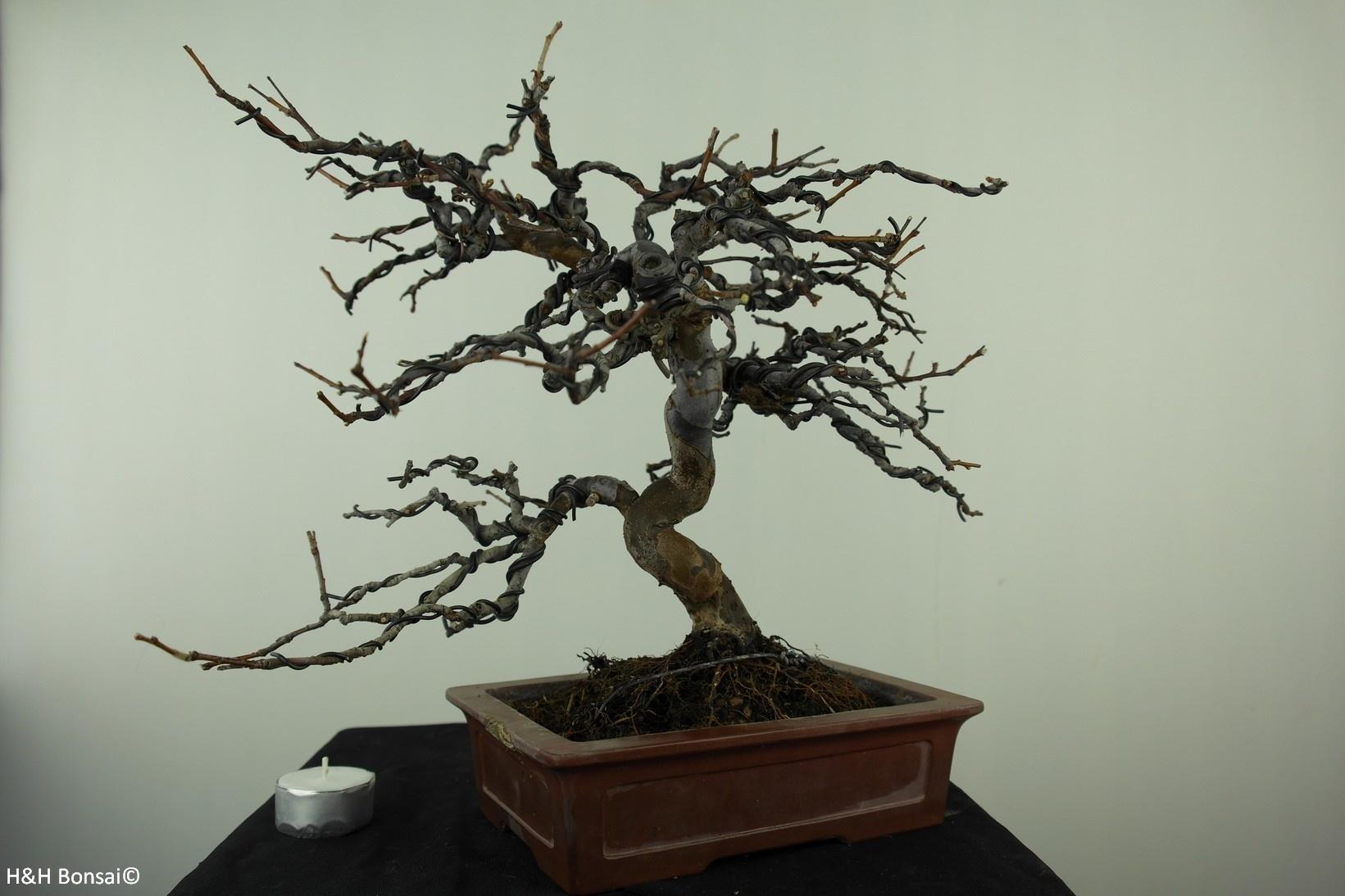 Bonsai Cotogno cinese, Pseudocydonia sinensis, no. 7515