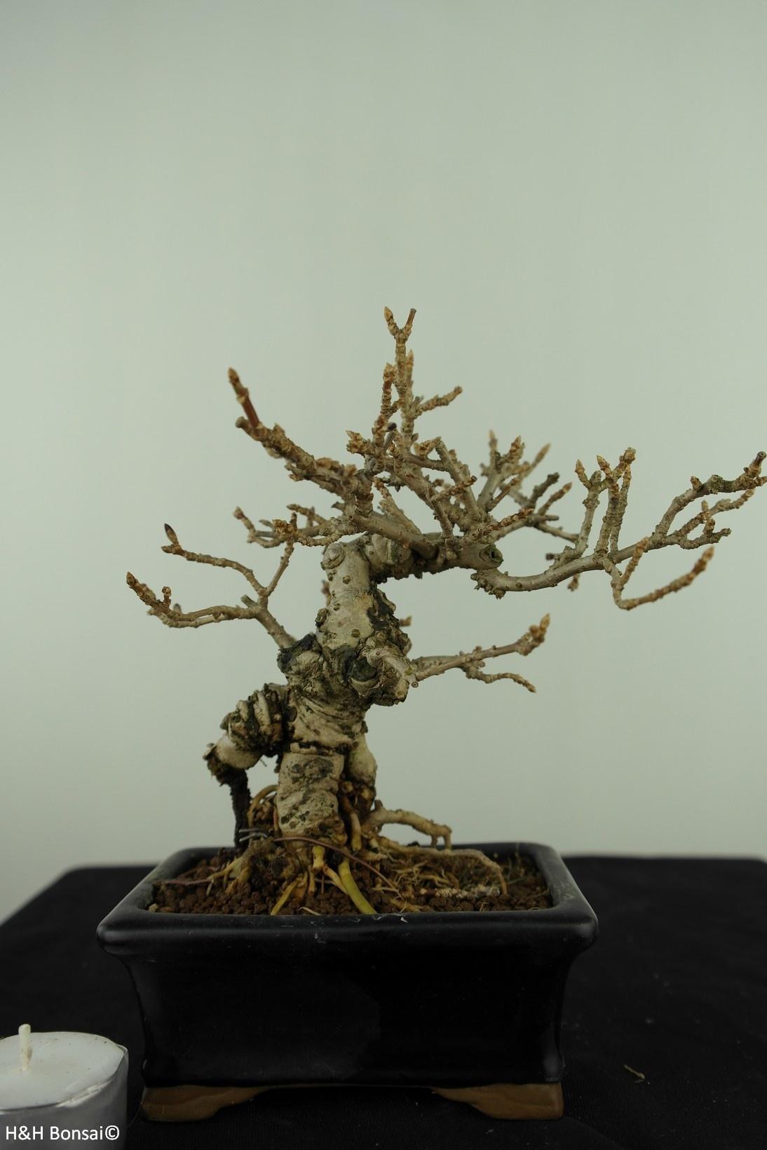Bonsai Shohin Forsizia, Forsythia, no. 7517