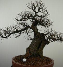 Bonsai Olmo cinese, Ulmus, no. 7519