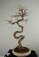 Bonsai Trident Maple, Acer buergerianum, no. 7520