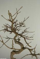 Bonsai Acero tridente, Acer buergerianum, no. 7520