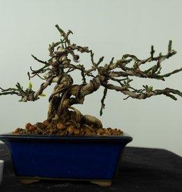 Bonsai ShohinGelsomino d'inverno, Jasminum nudiflorum, no. 7527
