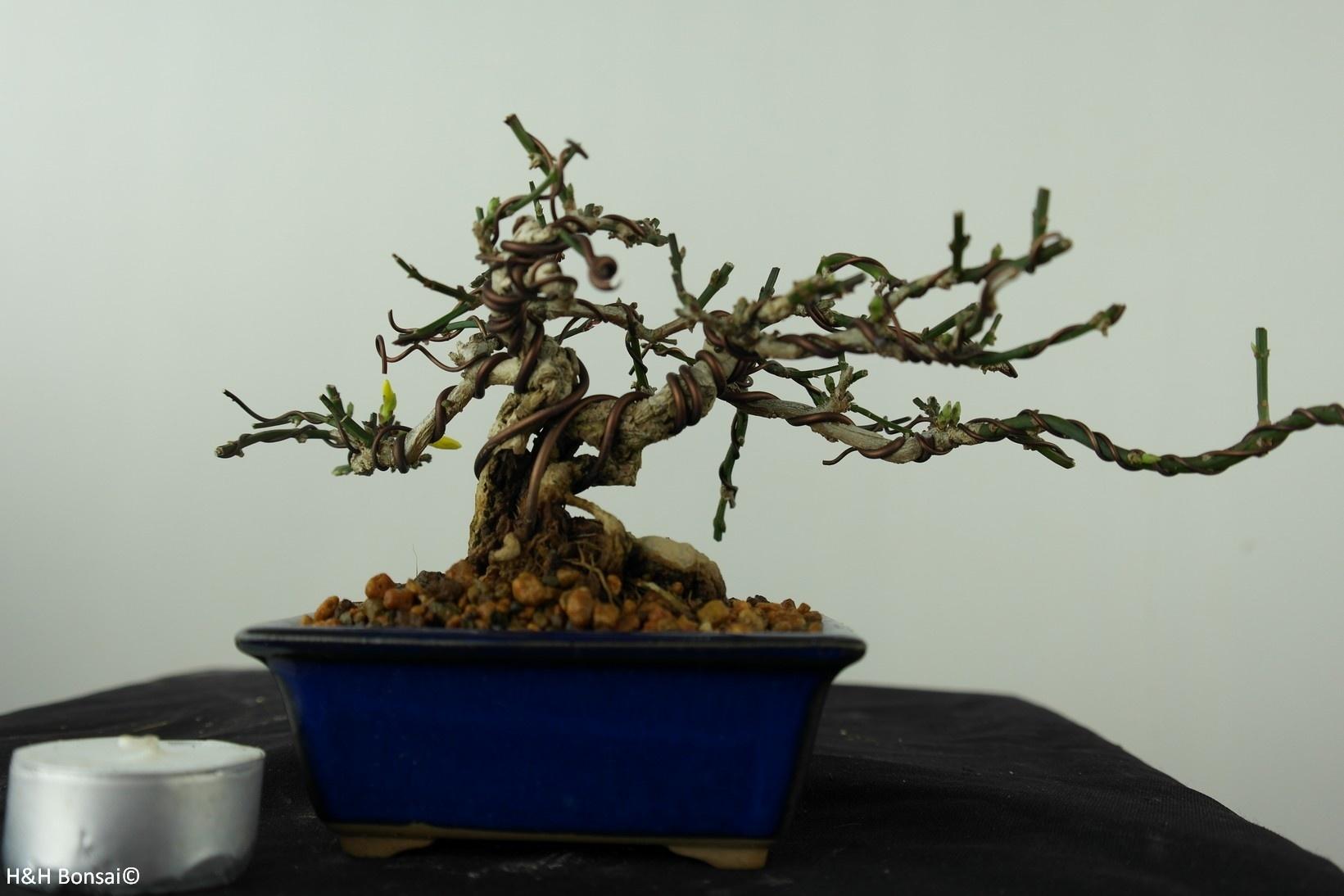 Bonsai ShohinWinter jasmine, Jasminum nudiflorum, no. 7527