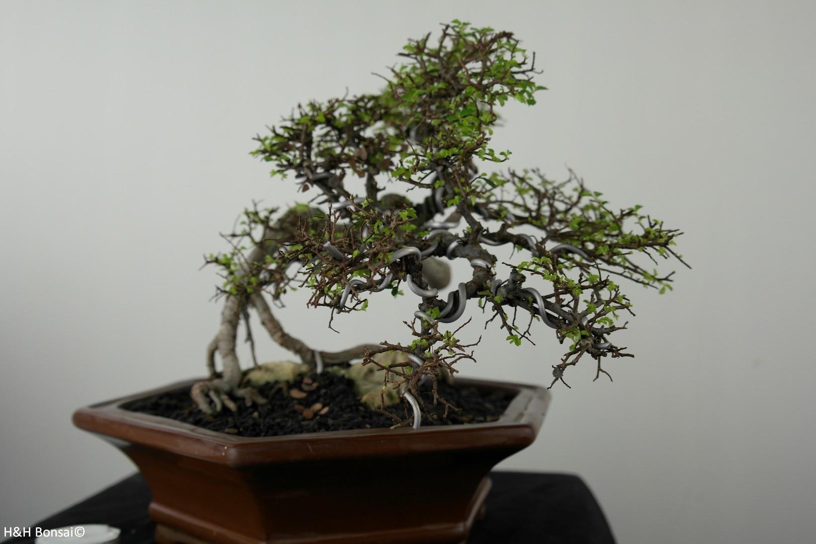 Bonsai Zelkova, no. 7529