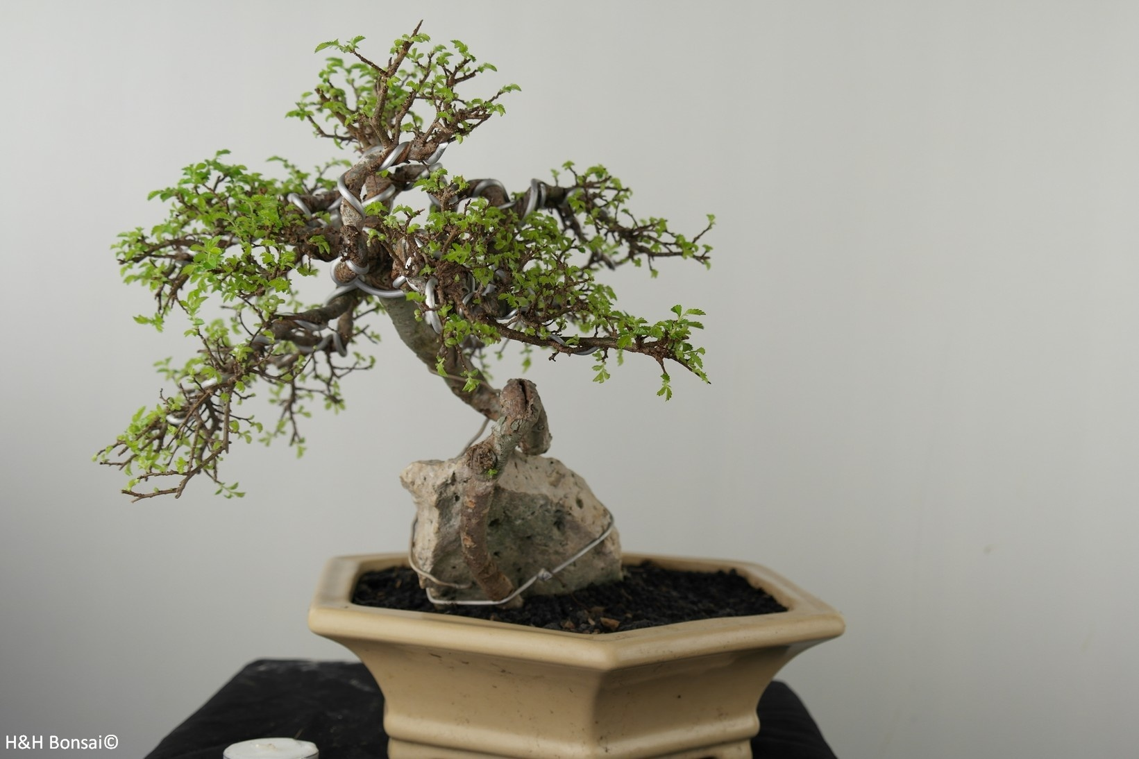 Bonsai Zelkova, no. 7530