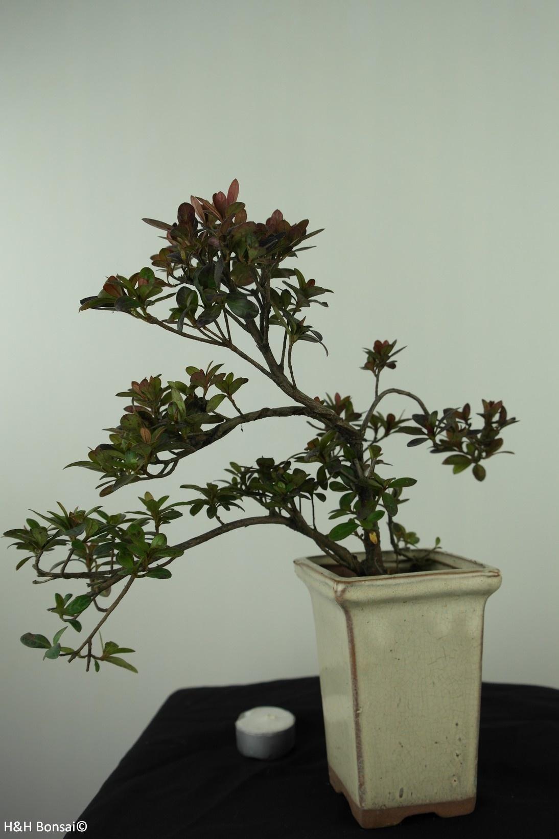 Bonsai Azalea Rhododendron indicum, no. 7536