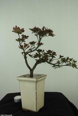 Bonsai Azalea Rhododendron indicum, no. 7537