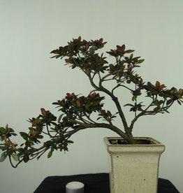 Bonsai Azalea Rhododendron indicum, no. 7539