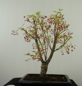 Bonsai Acero palmato, Acer palmatum Butterfly, no. 7543