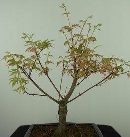 Bonsai Acero palmato, Acer palmatum Butterfly, no. 7548