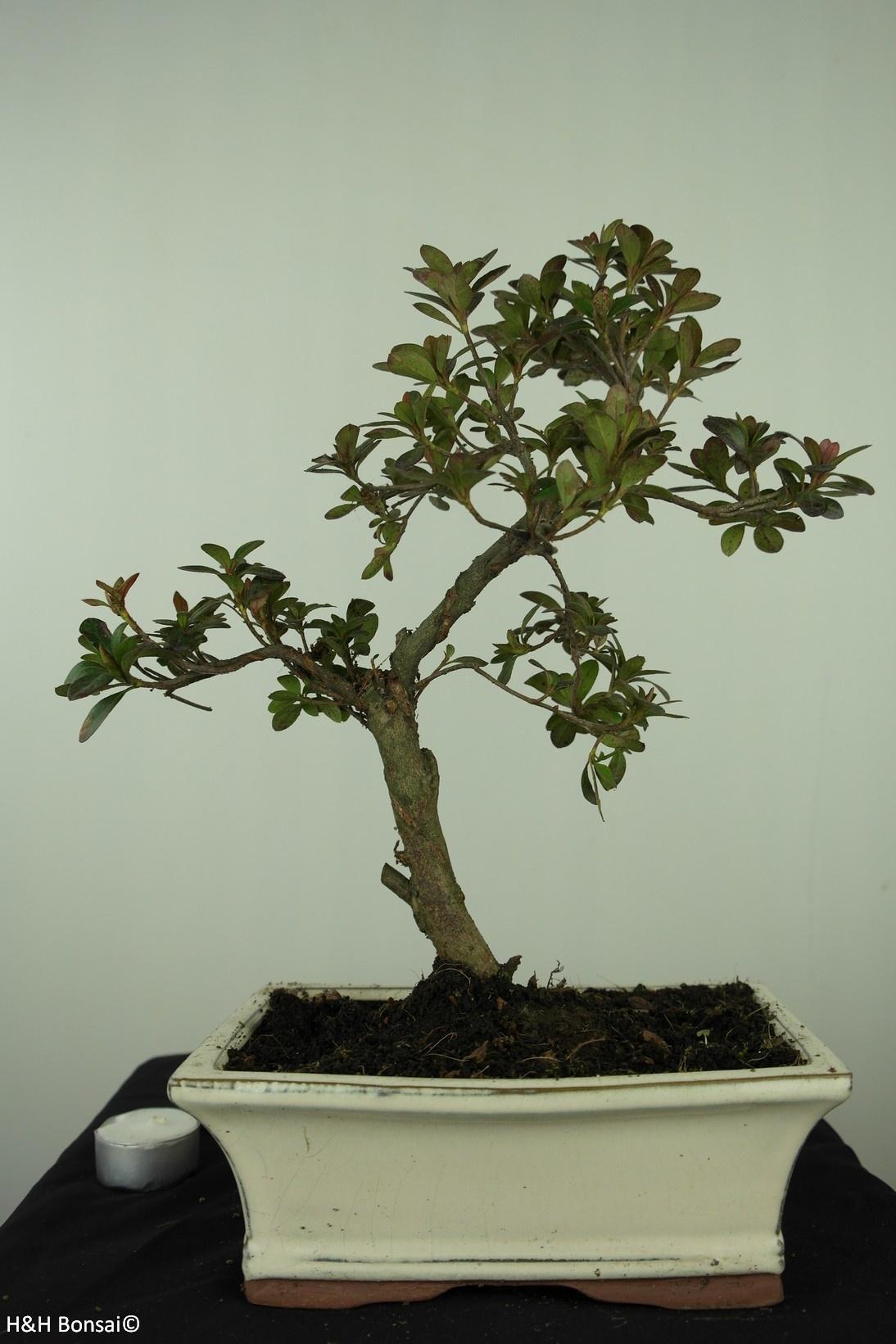 Bonsai Azalea Rhododendron indicum, no. 7553