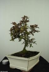 Bonsai Azalea Rhododendron indicum, no. 7554