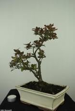 Bonsai Azalea Rhododendron indicum, no. 7555