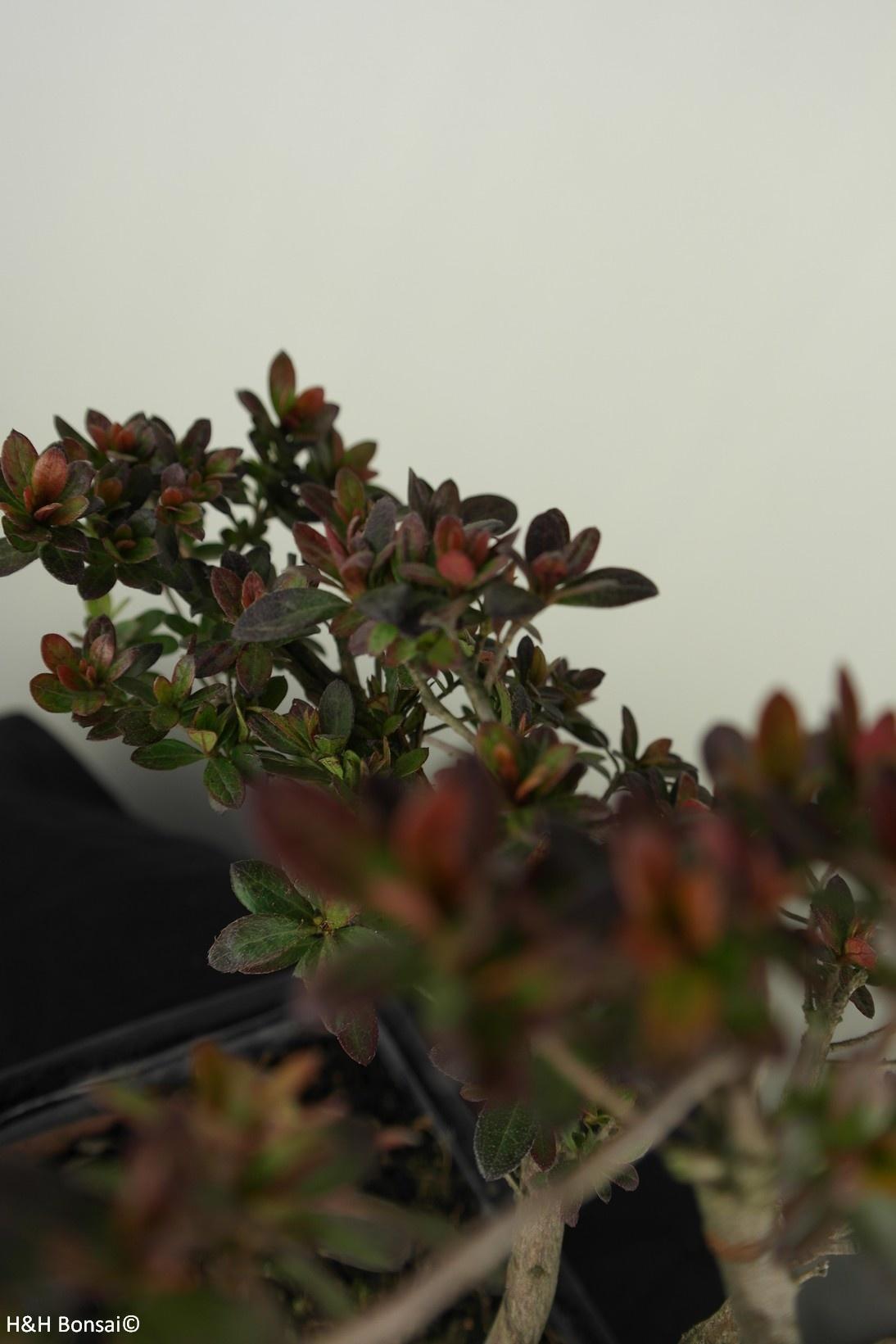 Bonsai Azalea Rhododendron indicum, no. 7557