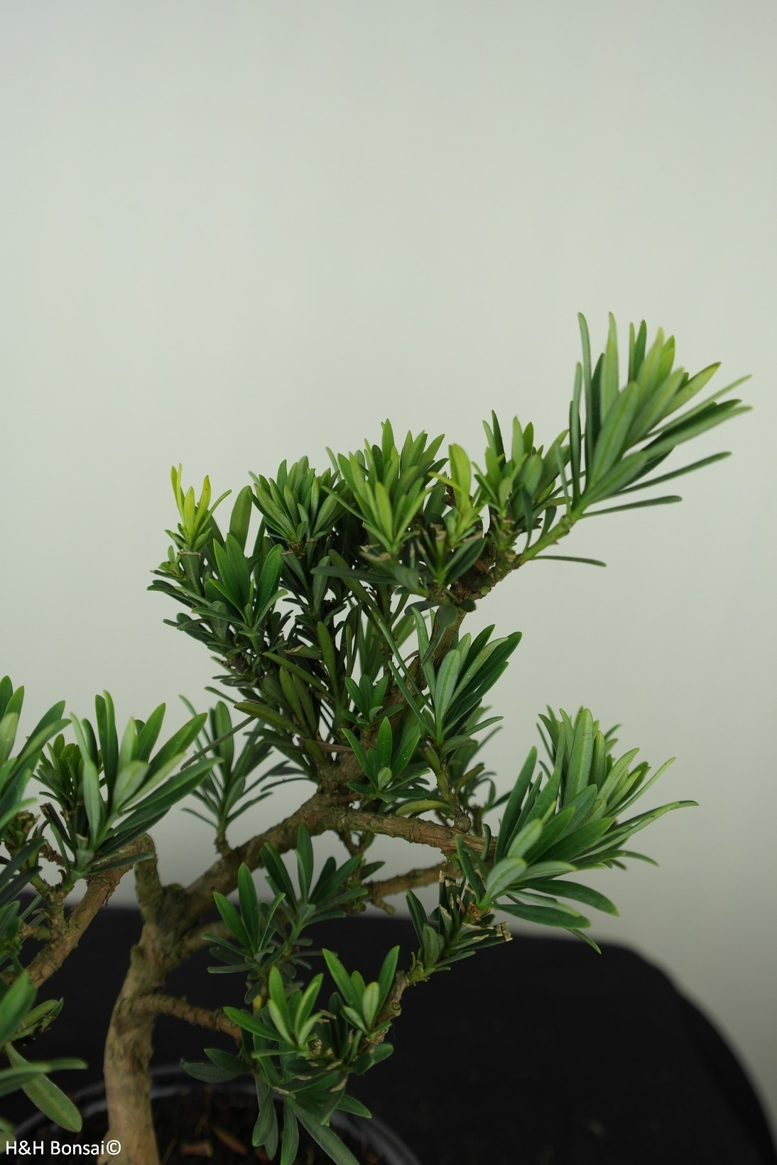 Bonsai Buddhist Pine, Podocarpus, no. 7559