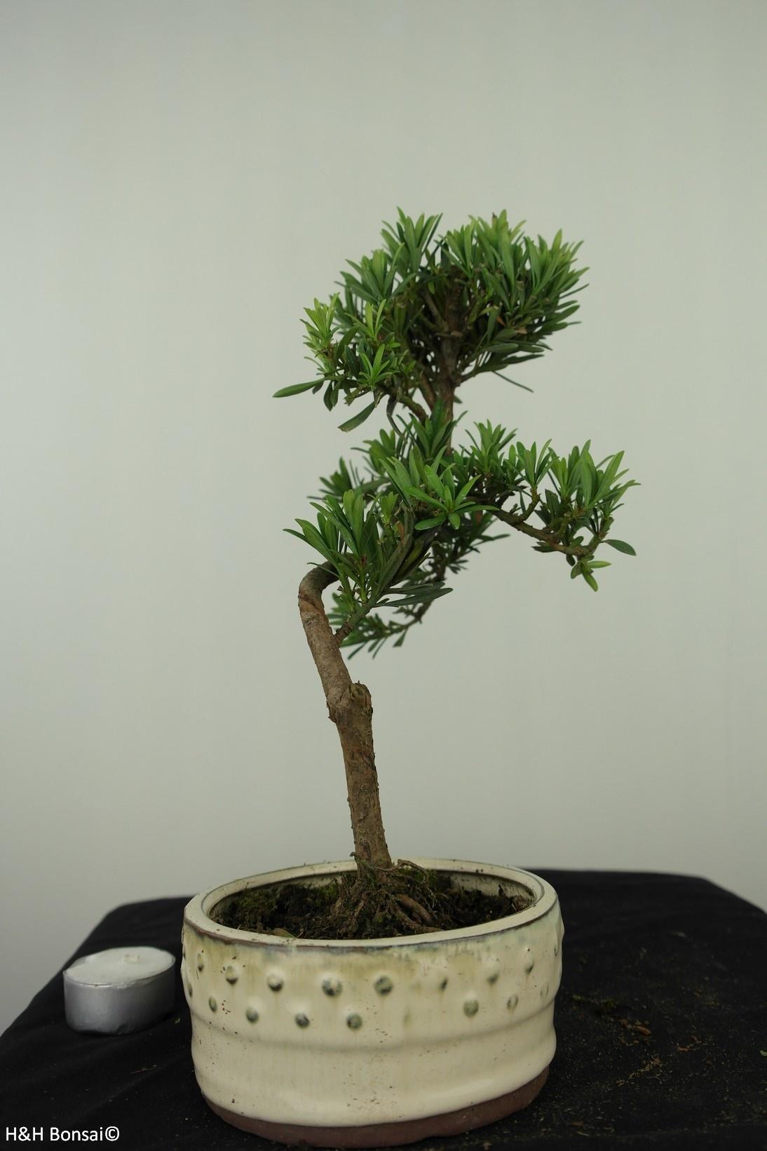 Bonsai Buddhist Pine, Podocarpus, no. 7560
