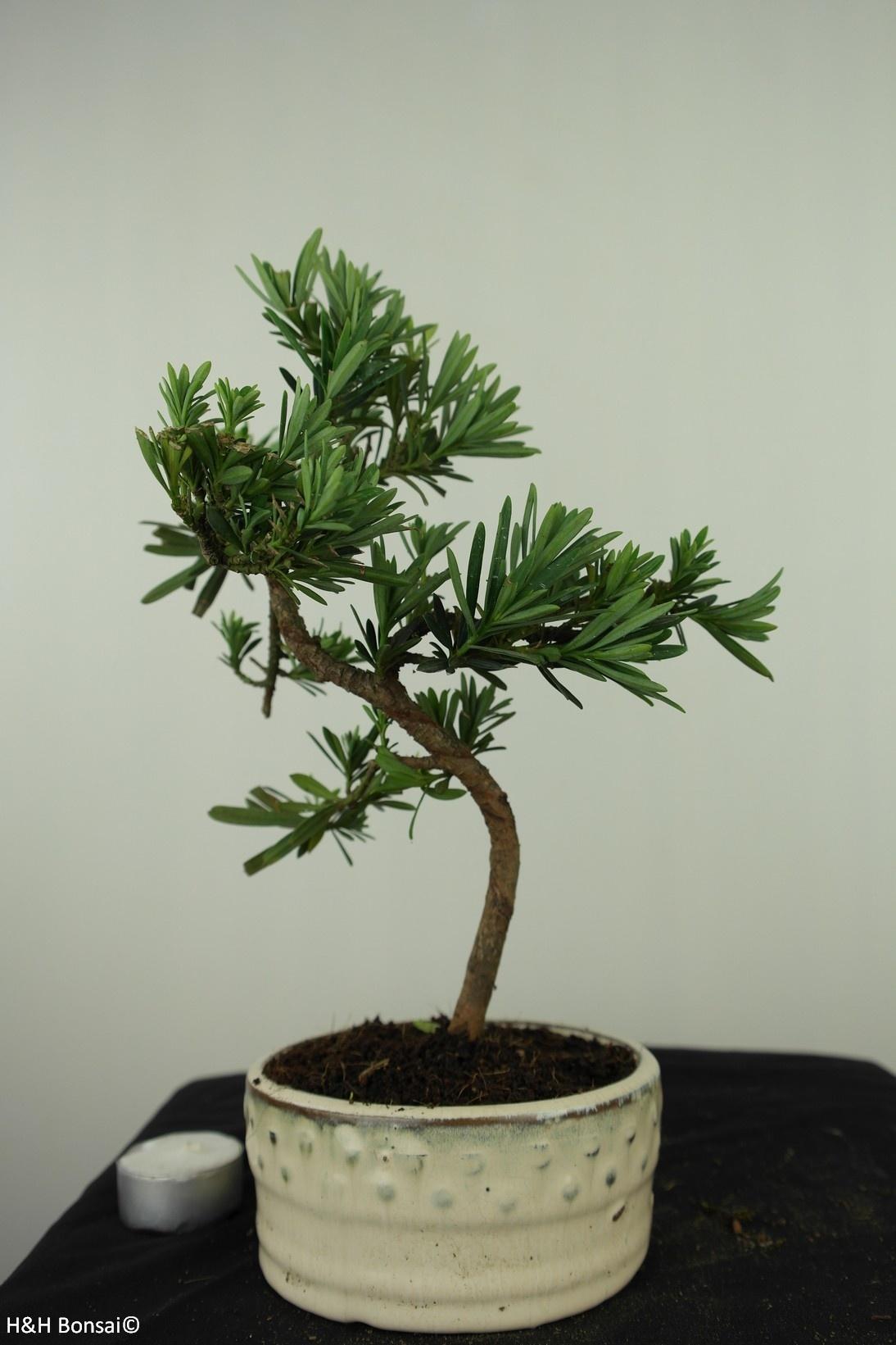 Bonsai Buddhist Pine, Podocarpus, no. 7561