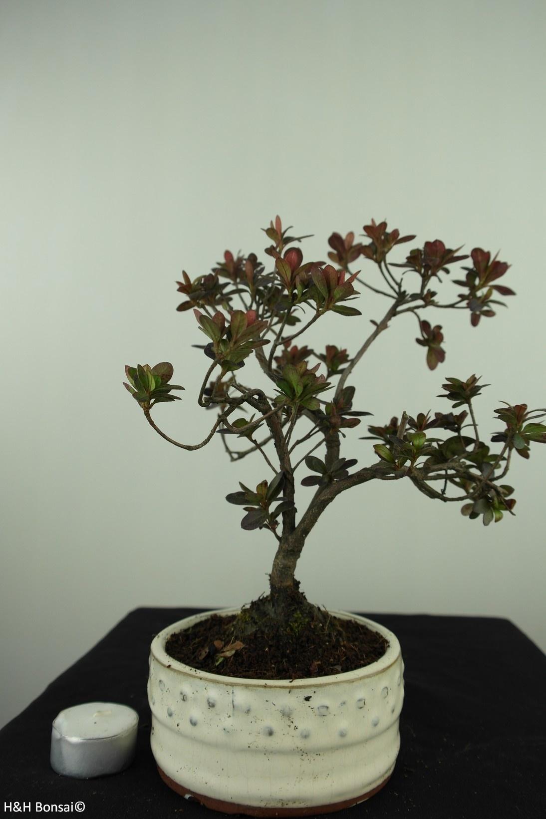 Bonsai Azalea Rhododendron indicum, no. 7573