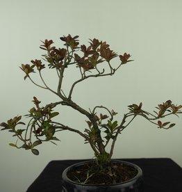 Bonsai Azalea Rhododendron indicum, no. 7577