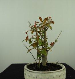 Bonsai Pomegranate, Punica granatum, no. 7594
