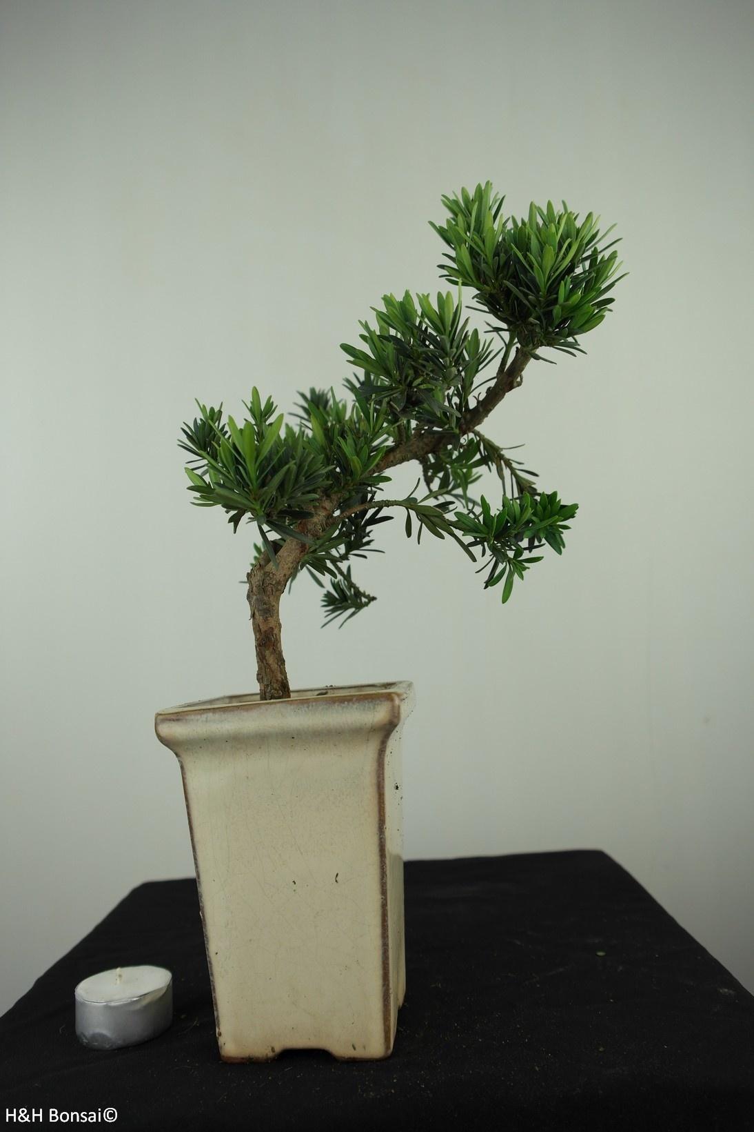Bonsai Buddhist Pine, Podocarpus, no. 7595