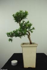 Bonsai Buddhist Pine, Podocarpus, no. 7596