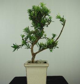 Bonsai Podocarpo, Podocarpus, no. 7597