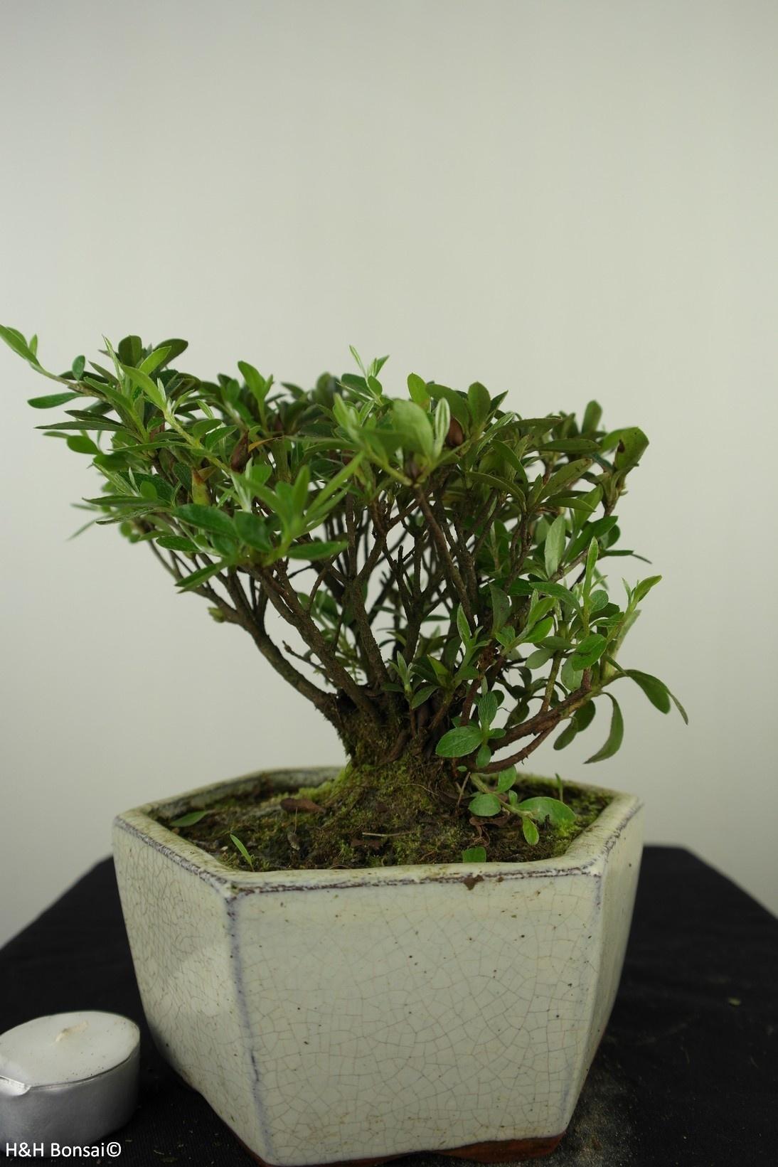 Bonsai Azalea Rhododendron indicum, no. 7602