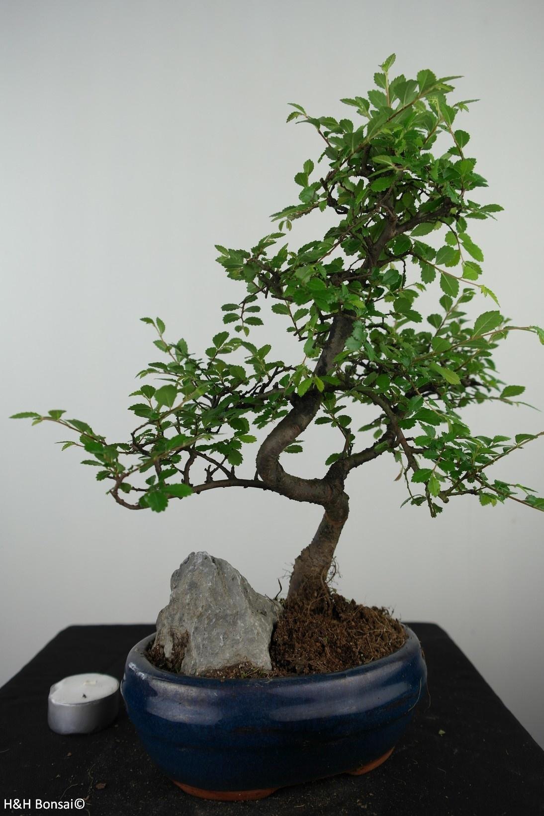 Bonsai Chinese Elm with rock, Ulmus, no. 7611