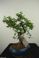 Bonsai Chinese Elm with rock, Ulmus, no. 7617