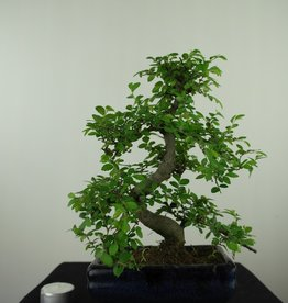 Bonsai Chinese Elm, Ulmus, no. 7624