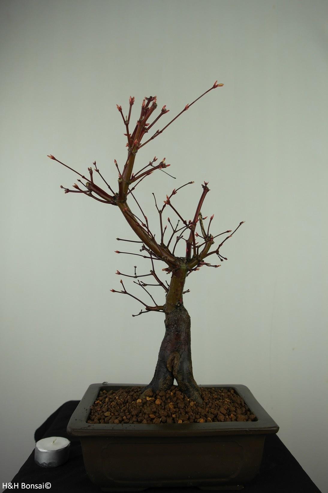 Bonsai Japanese Red maple, Acer palmatum deshojo, no. 7650