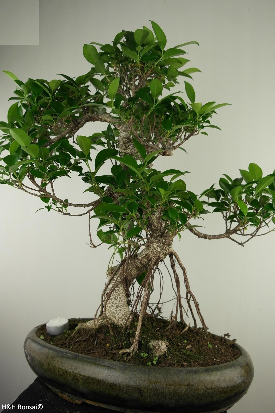 Bonsai Fig Tree, Ficus retusa, no. 7675