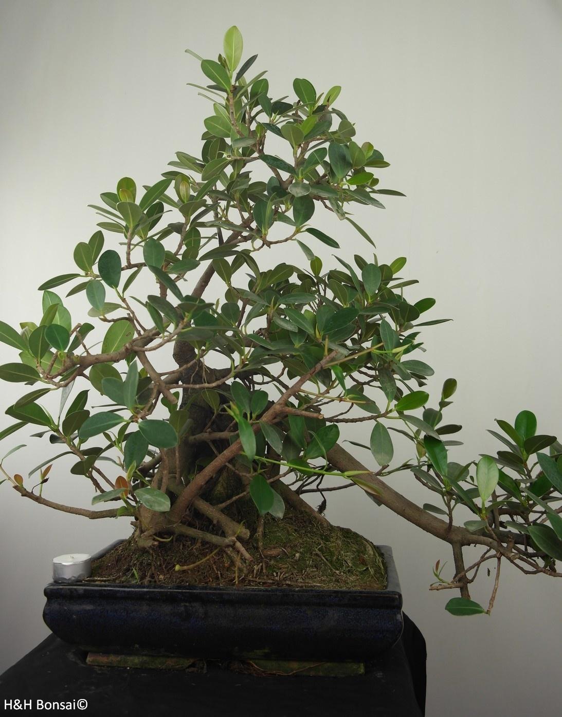Bonsai Fig Tree, Ficus microcarpa panda, no. 7681