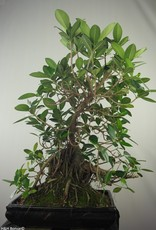 Bonsai Fig Tree, Ficus microcarpa panda, no. 7682