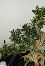 Bonsai Boxwood, Buxus harlandii, no. 7685