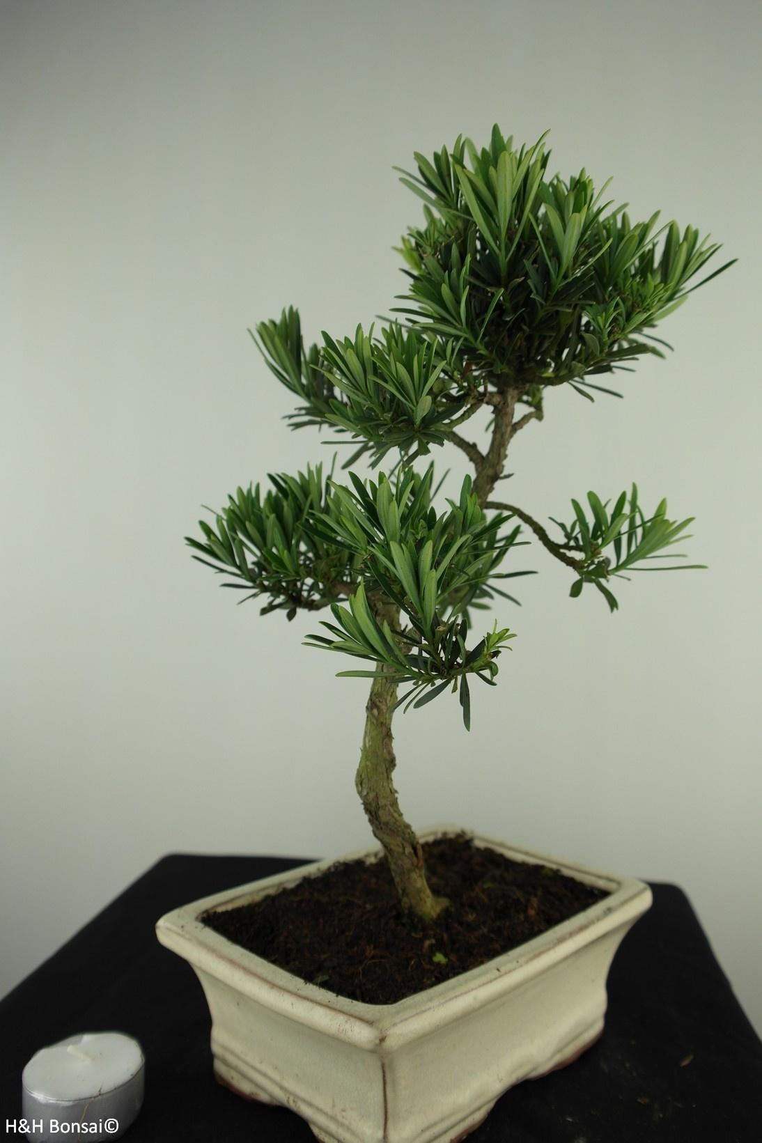 Bonsai Buddhist Pine, Podocarpus, no. 7714