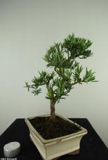 Bonsai Buddhist Pine, Podocarpus, no. 7715