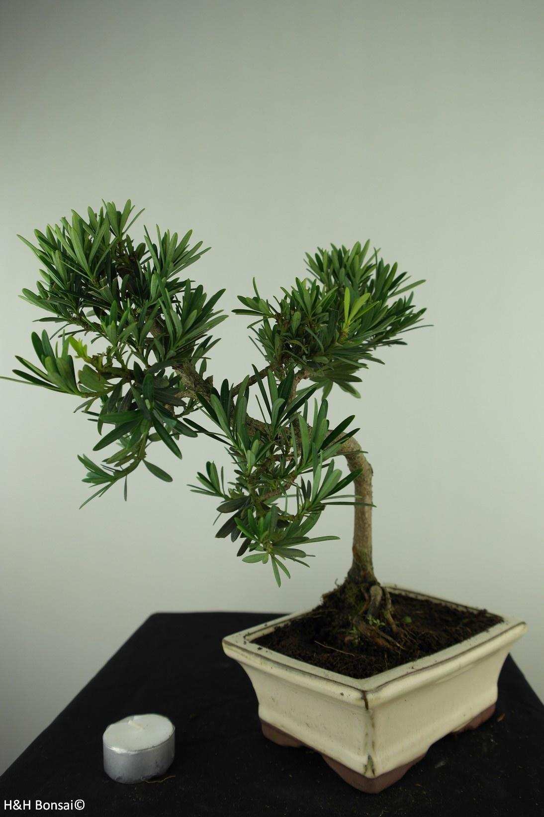Bonsai Buddhist Pine, Podocarpus, no. 7716