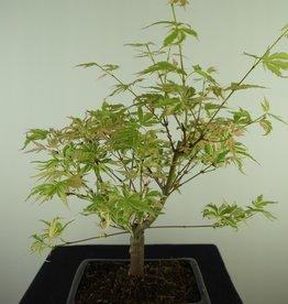 Bonsai Acero palmato, Acer palmatum Butterfly, no. 7725