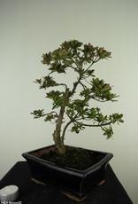 Bonsai Azalea Rhododendron indicum, no. 7729
