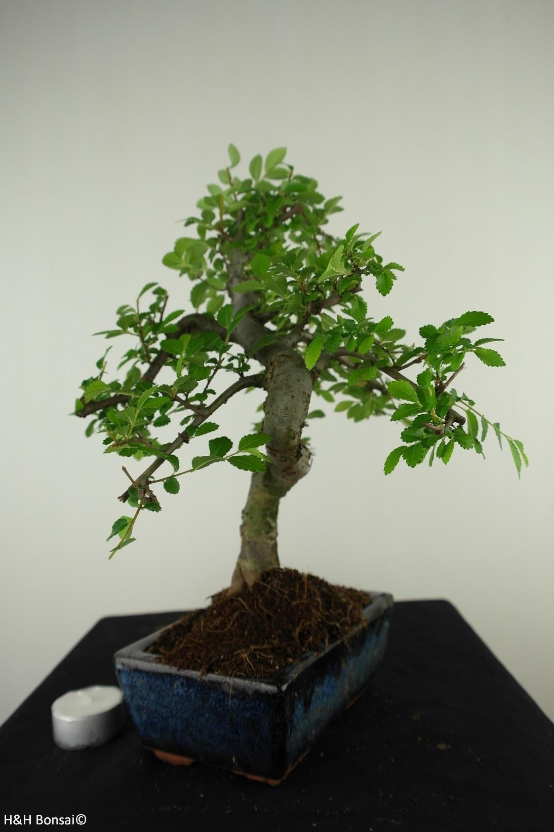 Bonsai Chinese Elm, Ulmus, no. 7736