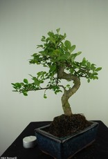 Bonsai Chinese Elm, Ulmus, no. 7739